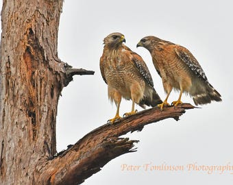 Red shouldered hawks, Georgia: archival print signed and matted