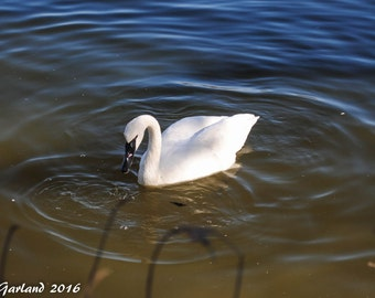 Trumpeter Swan, Nature Photography, Animal Photography, Bird Photography, Arkansas, Wall Art, Print, Water, Bird, Swan