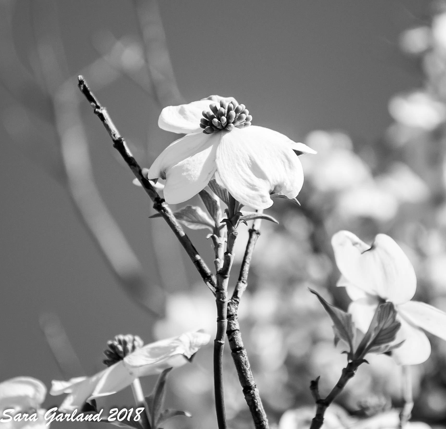 Black And White Dogwood Print Nature Photo Floral Nature Art