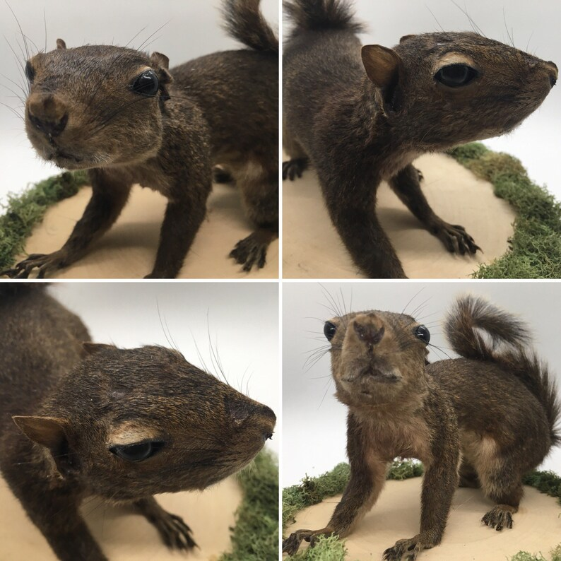 Brown Coloring Full Body Grey Squirrel Taxidermy Mount