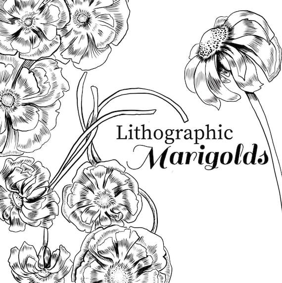 Dessin De Marigold Marigold Clipart Fleur Noir Et Blanc Marigold Illustration Jardin Clipart Florals Numérique Clipart Floral à Lencre
