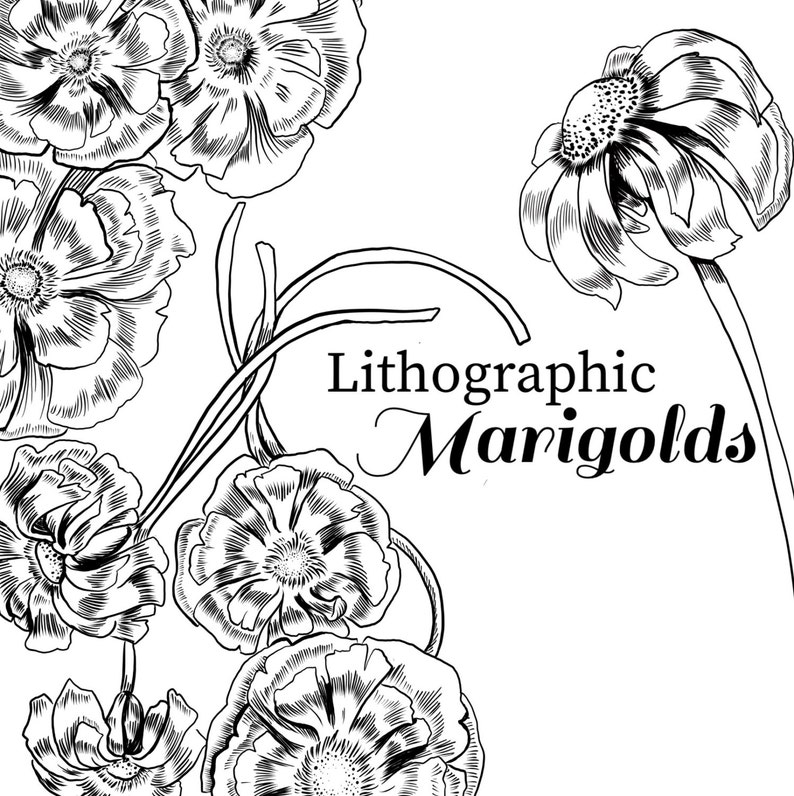 Ink Drawing Marigold Marigold Clipart Black And White