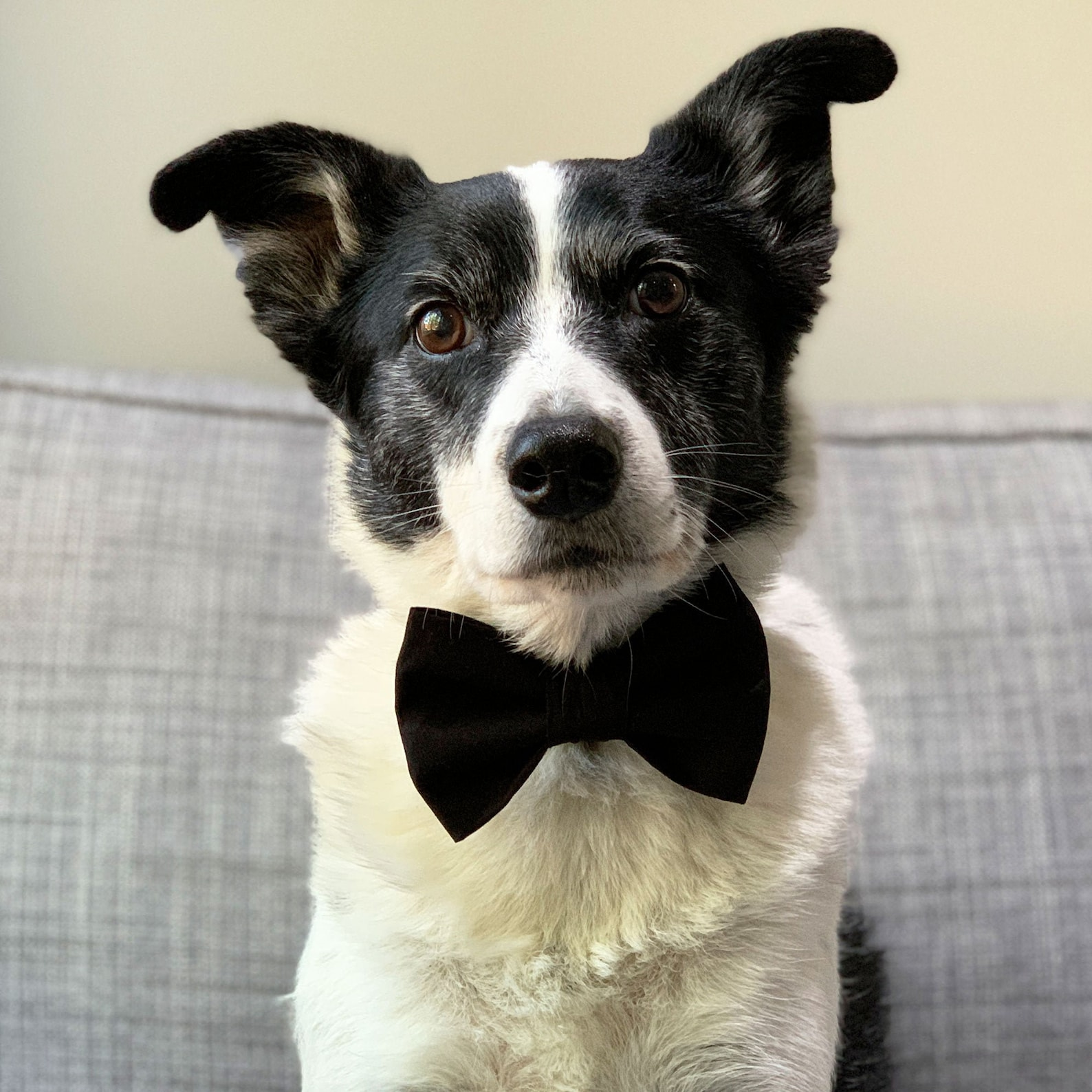 Dog wearing a black bow tie