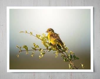 Brimstone Canary - Bird Animal Photography, Africa Safari Archival Giclee Print, Wildlife Photo - Multiple Sizes Available