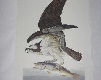 Audubon print unframed bird Fish Hawk reproduction