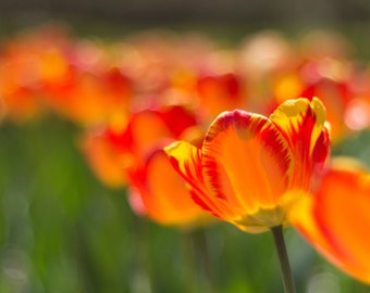Field of Tulips Photograph