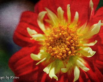 Fine Art Photography - Flower Photography - Dahlia