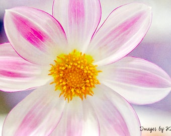 Fine Art Photography - Flower Photography - Pink and White Dahlia