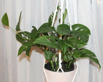 Monstera Adansonii cutting , Swiss Cheese Plant - 1 unrooted cutting @ 4 nodes each or 12 inches in length
