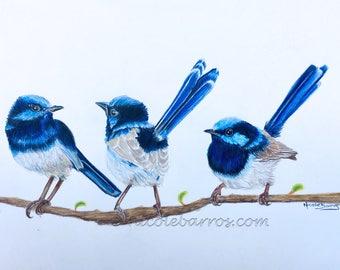 Blue Wren, PRINT,  Coloured pencil art, Birds, Wildlife painting, Bird Art, Australian Birds, Fairy Wrens, Illustration Art, Free Shipping