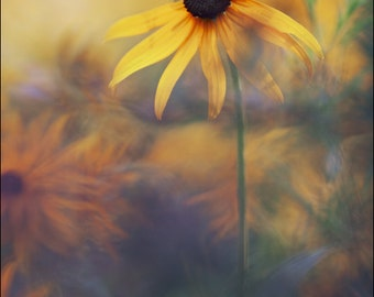 Black Eyed Susan - Color Photo Print - Art Nature Photography (RB03)