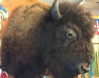 Buffalo (Bison) Shoulder Mount