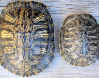 Small Real Red-eared Slider Turtle Shell