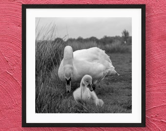 Swan Print, Mother and Cygnet in Richmond Park - Black and White Photography - London Nature Art