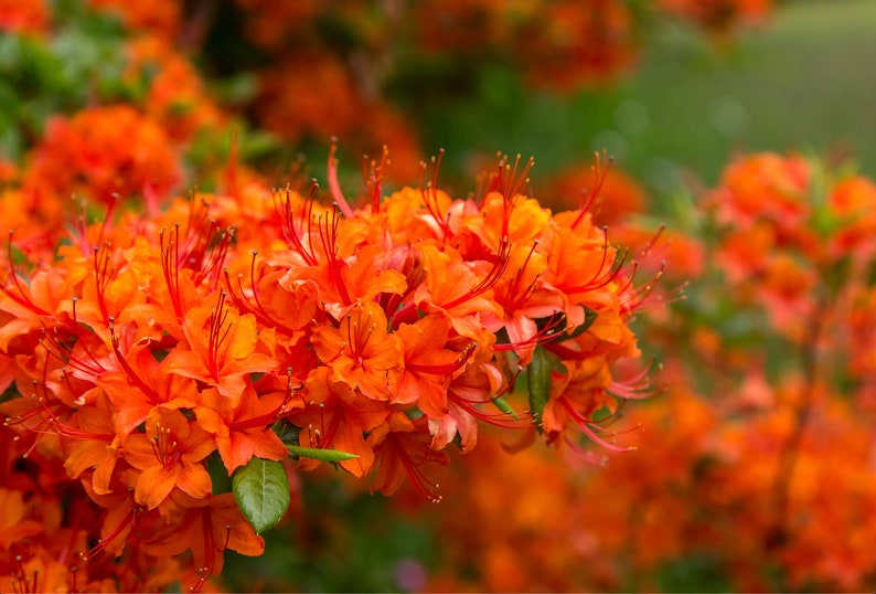 Orange Rhododendrons in Bloom  Photography Print  Flower image 0