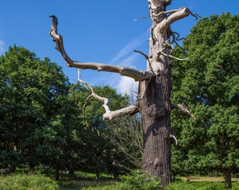 Richmond Park Photograph - Nature Photography - Tree - London