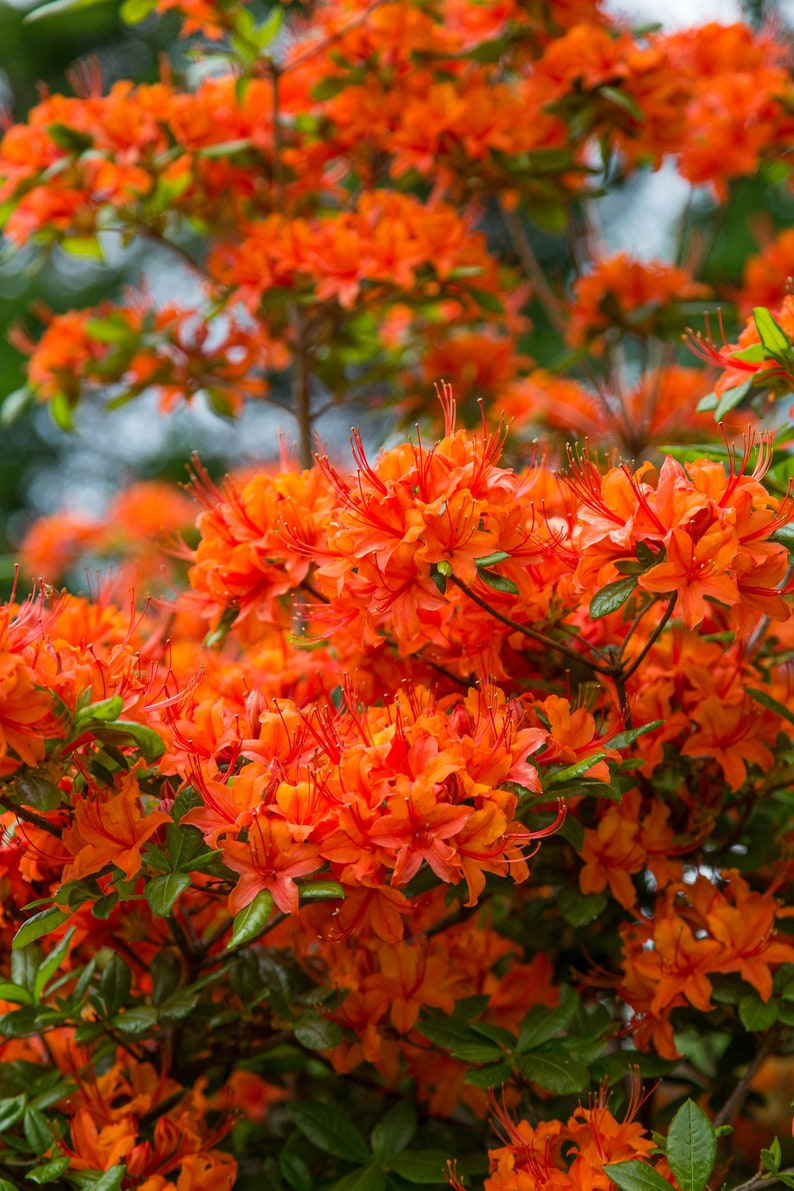 Flower Photography  Orange Rhododendrons  Flower Art  image 0