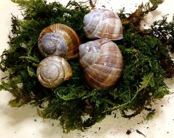 Snail House Decoration, painted Snail House, Runen Snail House, Fairy House, natural Snail House, Fairy Garden