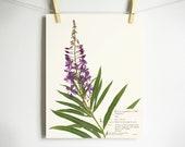 Fireweed Print; purple wildflower print pressed plant art purple flower print of original botanical print pressed flower art oregon art
