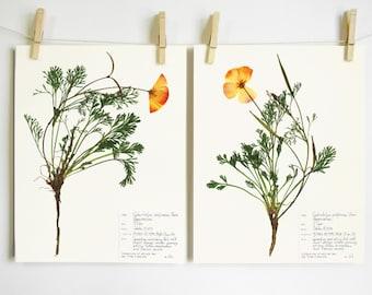 California Poppy Print Set; botanical print pressed flower art pressed botanical art state flower herbarium specimen dried flower art