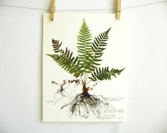 Fern Print; pressed plant art pressed fern art print of original herbarium specimen art fern fronds scientific fern wall art sword fern 224