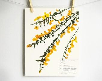 Scotch Broom Print; botanical print herbarium specimen art pressed botanical yellow wildflower art dried flower art scientific wall art