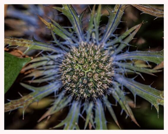 Nature Photograph, Thistle Art, Purpel Green, Macro Fall Photo, 5x7 8x10, Autumn Wall Decor, Fine Art Photography