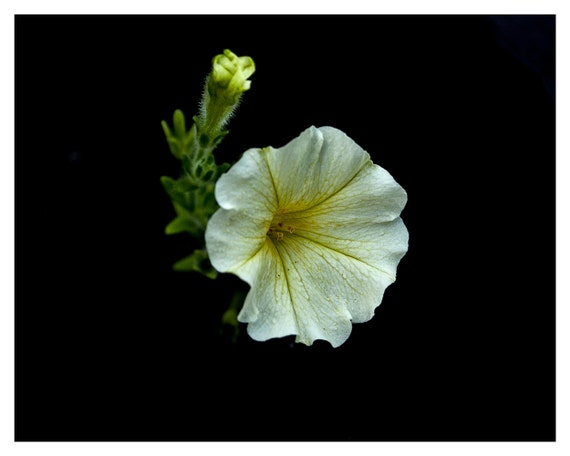 Nature Photography, Morning Glory, Flower Photography, Nature Home Decor, 5x7, 8x10, Fine Art Print