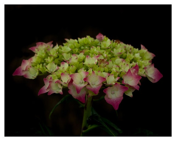 Simple Neutral Flower Photography of a Hydrangea, Black, Pink, Green, Wall Decor, Minimalist Macro print 5x7 and 8x10 inch