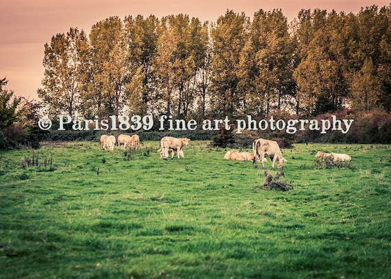 Cow Photo, Rustic Landscape Photograph, Cow Photo Download, Farmhouse Decor, Nature Photograph, Fine Art Photography, Cow Wall Art, Digital