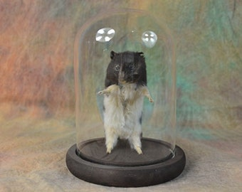 Taxidermy Syrian Hamster Mounted In Dome