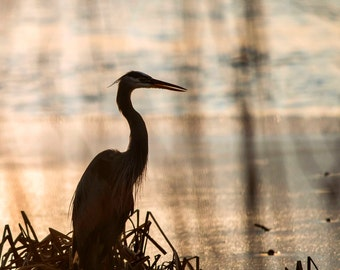 Blue Heron Fine Art Print, Size 16x20 inches, Nature Photography, Bird Photography