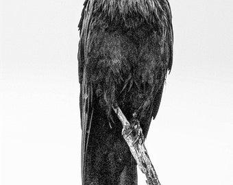 Raven in spring rain, Laird Township, Ontario