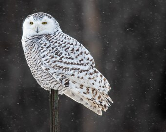 Snowy owl female, near Thessalon, Ontario