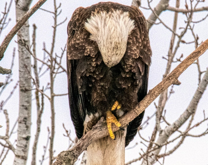 Bald eagle, Laird Township, Ontario