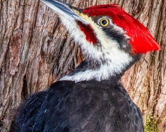 Pileated woodpecker, Laird Township, Ontario