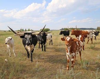 Longhorn Photography, Rustic Home Decor, Farmhouse Decor, Cow Art Print, Nature Photo, Longhorn Wall Art, Cow Photograph - Longhorn Posse