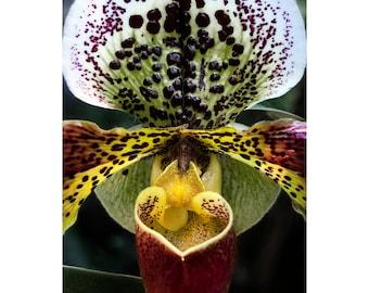 Maroon Slipper Orchid Print, Slipper Orchid, Fuschia, Macro, Flower Photograph, Nature, Fine Art Photography, 5x7, 8x10, 11x14