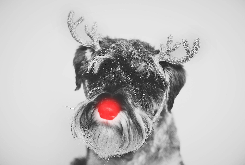 Miniature Schnauzer Christmas Card Greetings Card Reindeer | Etsy