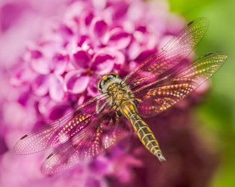 Dragonfly on Lilac: 8x10 fine art image.