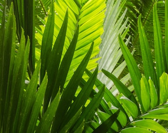 Tropical palm fronds 8x10 nature photography print.