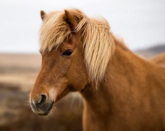 Icelandic Horse Print, Iceland Photography, Horse Art, Animal Art, Equestrian Art, Iceland Art