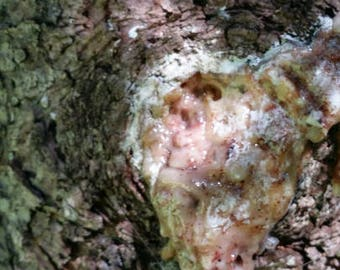 Spruce Sap/Pitch Fresh Sustainably Harvested - DIY Muscle rubs, Chest rubs & Moustache waxs