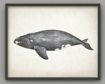 Northern Right Whale Watercolor Wall Art Poster, Right Whale Art Print, Right Whale Painting, Ocean Wall Art Poster Marine Biology Art B761