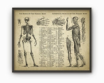 Bones And Muscles Of The Human Body Antique Anatomy Wall Art Poster - Human Skeleton - Biology Student Gift Idea -Antique Anatomy Home Decor