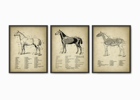 Impresión de anatomía caballo juego de 3 Ilustración de