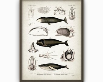Whale Wall Art Poster - Whale Art Print - Vintage Scientific Whale Book Plate - Marine Biology Wall Art - Biology Student Gift Idea (AB27)