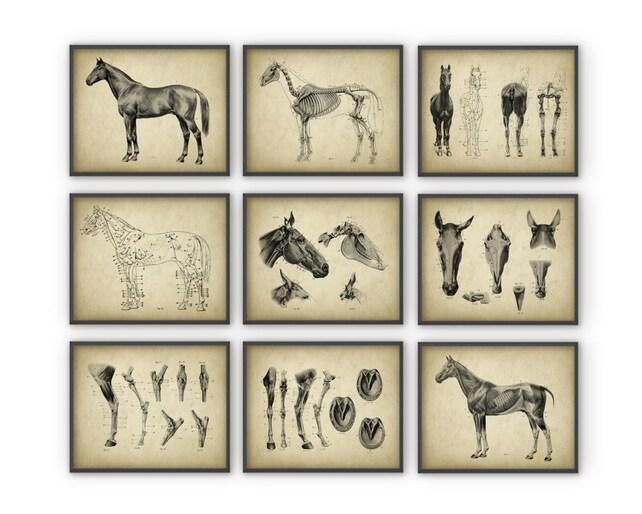 Conjunto de Posters de anatomía caballo de 9 caballo | Etsy