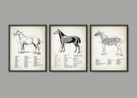 Impresión de anatomía caballo juego de 3 Ilustración de | Etsy