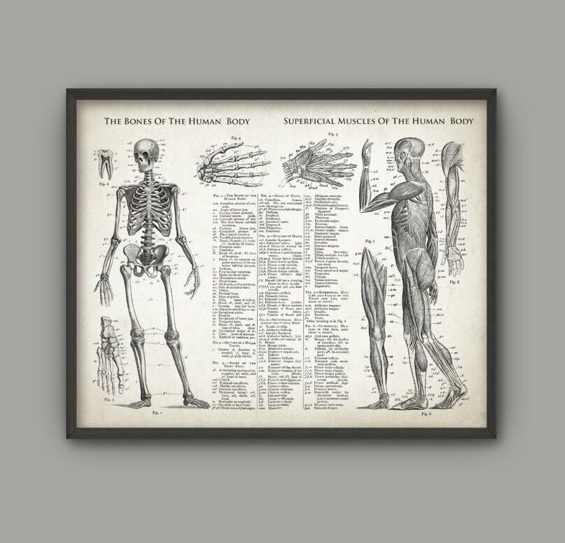 Knochen und Muskeln der antiken Anatomie menschlicher Körper   Etsy